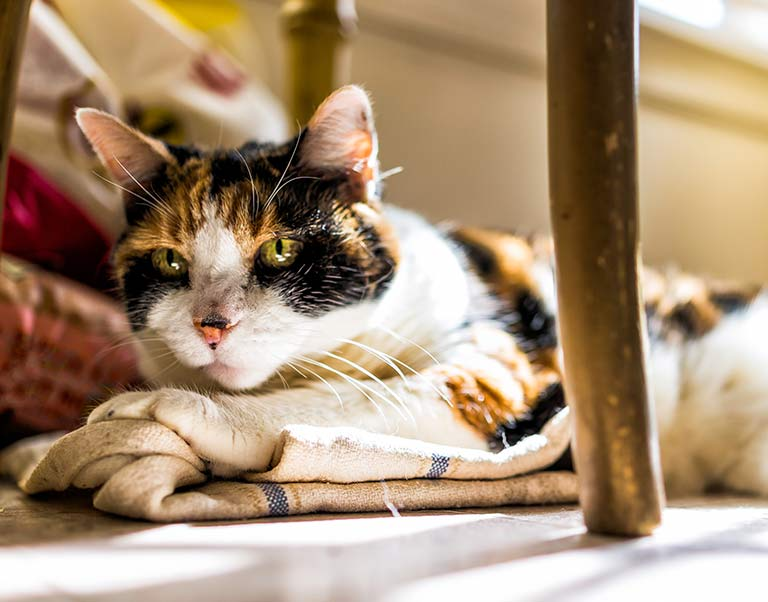 Senior Cat Wellness Care at the Animal Medical Center at Fort Sheridan, IL