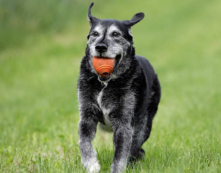 Senior Canine Care in Fort Sheridan, IL