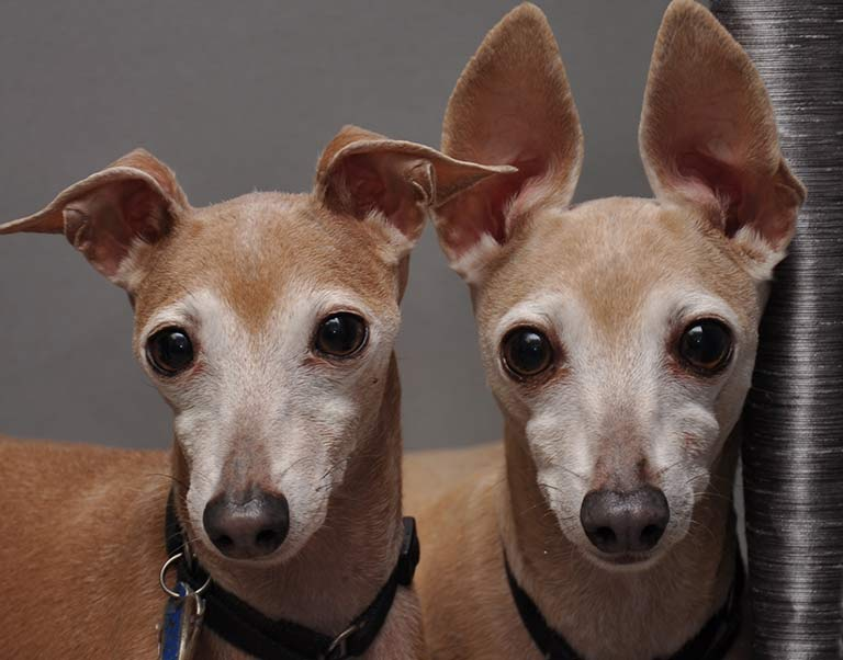 Canine Ear Care in Fort Sheridan, IL