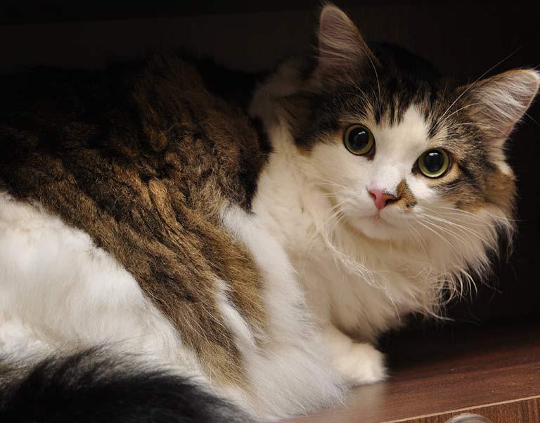 Feline Microchipping in Fort Sheridan, IL